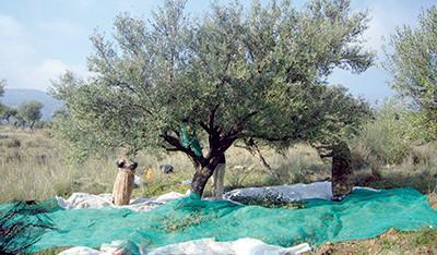 En Kabylie, en dehors des agriculteurs professionnels, la cueillette des olives se fait encore en famille, les «tiwiza» d'antan subsistent encore dans quelques localités.  C'est parti. L'hiver s'est installé. Désormais, c'est aux ramasseurs d'olives de battre champs et collines à la recherche de grains perdus. Les familles ont envahi leurs oliveraies. Femmes, enfants, vieux et vieilles sont tous emportés par l'élan de cette saison, qui, de par sa rudesse, fait oublier aux paysans tous leurs malheurs pour ne se concentrer que sur la récolte. La cueillette des olives, une saison passionnément attendue.  La cueillette se fait en toute convivialité et les ramasseurs d'olives sont devenus les rois des collines. Le temps d'une saison.